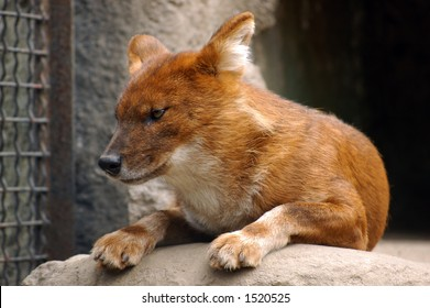 Dhole also known as a Red Dog or an Asian Wild Dog