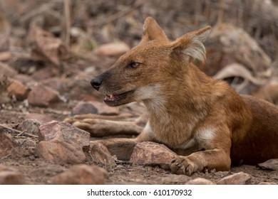 Dhole wild dog headshot taken in Tadoba India