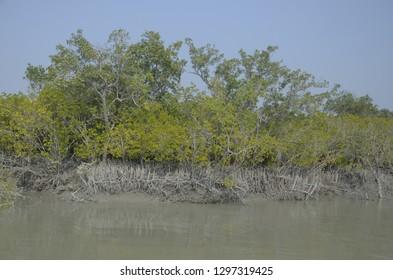 dhundul a type of mangrove tree at s Sundarbans,the world largest mangrove, West Bengal,India.