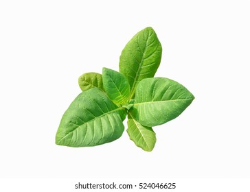 Di cut tobacco plant on white background,agricultural industry concept.