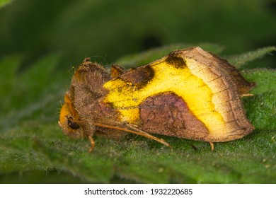 Diachrysia chrysitis moth night butterfly Burnished brass resting on a hairy leave with dark green colors in the night with macro image of the hairy body and soft yellow wings of this noctuidae remind