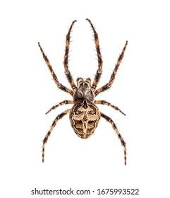 Diadem spider on its web, Araneus diadematus, isolated - Shutterstock ID 1675993522