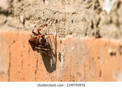 Diadem spider sitting on a brick wall (Araneus diadematus)