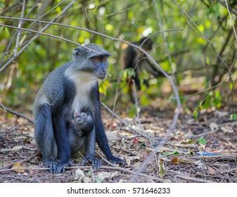 Diademed monkey feeding her baby. Gedi Ruins, Watamu, Kenya.
