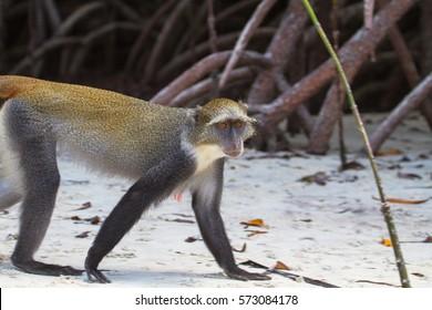 Diademed monkey. Mida creek, Watamu, Kenya.
