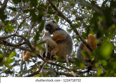 Diademed Sifaka lemur. Family of these endangered lemurs found in the eastern rain forests of Madagascar.