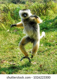 Diademed Sifaka in Madagascar