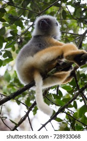Diademed Sifaka with radio collar resting in tree canopy, Andasibe National Park, Madagascar