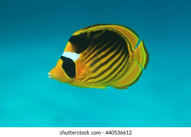 Diagonal butterflyfish (Chaetodon fasciatus) in the coral reef of the red sea