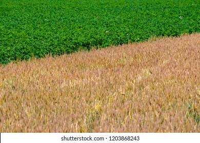 the diagonal divides the green field of potatoes and the yellow field of wheat, the border color