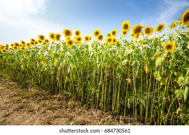 A diagonal row of sunflowers in full summertime bloom at a farm