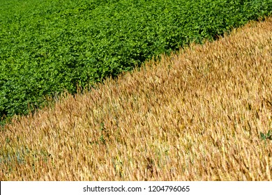 diagonal separating the frame into two halves, two halves of the field of different colors green and yellow, potatoes and wheat