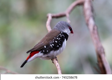 Diamond Firetail perched on a branch