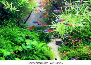 Diamond Neon tetra in planted aquarium