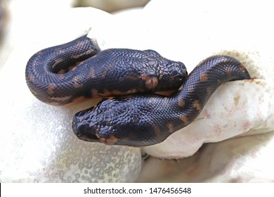 Diamond Python's hatching from egg