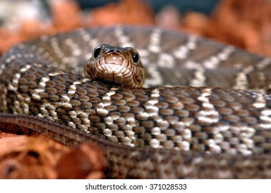 Diamond Water Snake