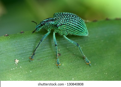 Diamond Weevil Entimus imperialis The diamond weevil highlights by its wonderfull crystalline and iridescent carapace.