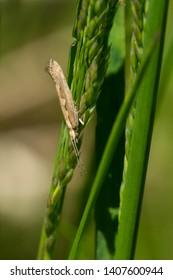A Diamondback Moth is perched upside down on a seeding blade of grass. Ashbridges Bay Park, Toronto, Ontario, Canada.