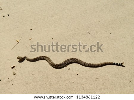 Diamondback Rattlesnake On Sidewalk Arizona Desert Stock Photo Edit