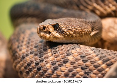 Diamondback rattlesnake is a pit viper species found in the southeastern United States