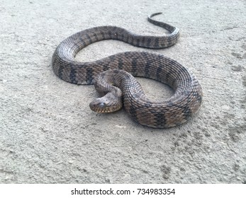 Diamondback watersnake in wild
