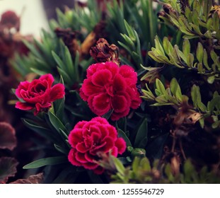 Dianthus caryophyllus, small herbaceous perennial red purple flowers on the balcony