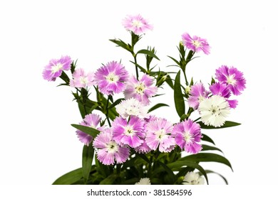 Dianthus chinensis (China Pink) Flowers on white background