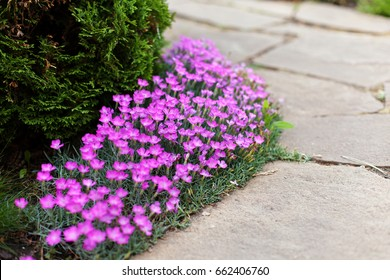 Dianthus deltoides, carnation pink flowers - ground cover plant for alpine hills in bloom. Selective focus