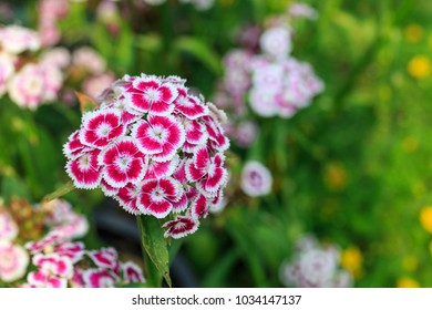 Dianthus flower (Dianthus chinensis)