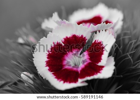 Dianthus Flower Color Splash