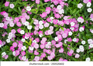 Dianthus Flower , Pink, Indian pink, China pink, Rainbow pink