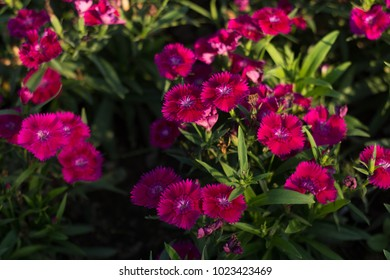Dianthus flower Plant pinks in full sun, partial shade or anywhere they will receive at least 6 hours of sun.
