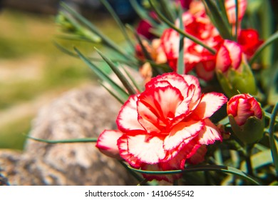 Dianthus flowering that presents bright and splendid colors. it is fantastic the very distinct contrast of the colors of this beautiful flower