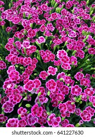 Dianthus flowers; background of dianthus blooms