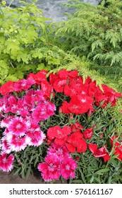 Dianthus flowers bloom in the garden