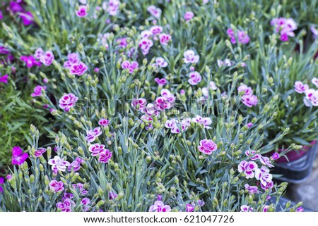 Dianthus Flowers Bloom May October Small Stock Photo Edit Now