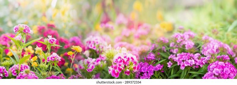 dianthus flowers on blurred summer garden or park background, banner for website