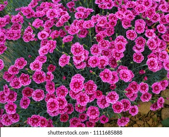 Dianthus flowers (pinks), variety Gold Speck