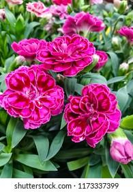 Dianthus pink mauve  flowering perennial garden plants