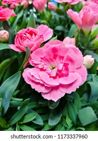 Dianthus pink red double flowering perennial garden plants
