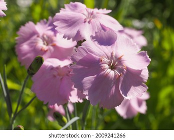 """Dianthus plumarius or cultivar """"Ipswich Pinks"""" flowers with blue green leaves are popular garden plant. Cheddar pink or clove pink carnation is herbaceous flowering plant in the family Caryophyllaceae"""