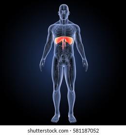 Diaphragm anterior view 3d illustration
