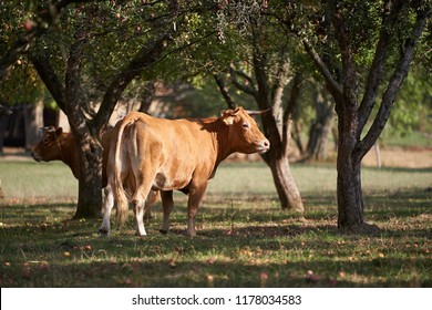 Diary cow or cattle on the grazing land in the old organic farming orchard with apple branches during the sunny summer day grazing apples from the grass.