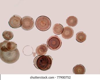 Diatoms from Myiagi-ken, Japan.  Magnification 100x