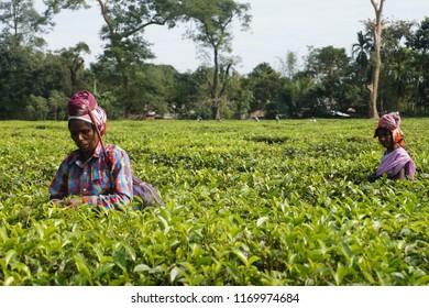 Dibrugarh, Assam/India- 27 November 2017. Tea Tribe women of Assam plucking tea in Assam Tea Garden.