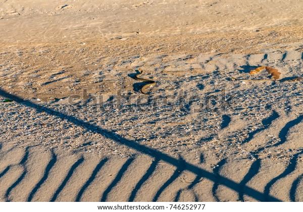 Dice snake or Natrix tessellata on sand
