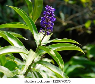 Dichorisandra thyrsiflora – Blue Ginger