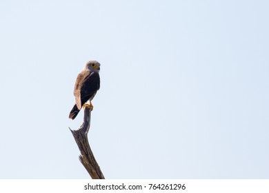 Dickinson's kestrel perched on top of dead tree branch with clear sky background, Botswana, Africa