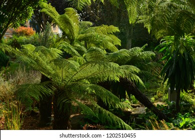 Dicksonia antartica fern, Jersey, U.K. Jurassic park plant.