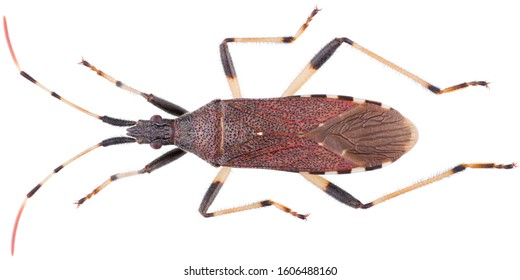 Dicranocephalus albipes is a genus of true bugs in the family Stenocephalidae. Dorsal view of true bug isolated on white background.